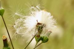 Dandelion Seeds Blow