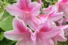 Pale Pink Flowers