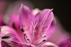 Purple Flower Pollen Close-up 3