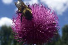 Bee on Purple Pompom Flower