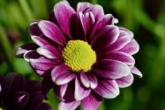 Purple Flower Green Disc Florets Close-up