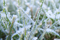 Frosted Dewdrops on Grasses