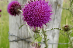 Barbwire and Thistles - Vertical