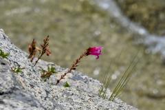 Pink Flower in Rock