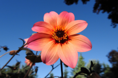 Good Morning Pink Flower