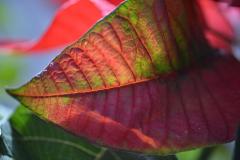 Poinsettia Leaf of Rich Tones