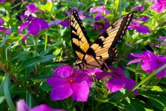 Swallowtail Butterfly on Purple Flower