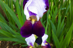 Iris Flower in the Grass