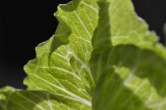 Lettuce Leaf Close-up