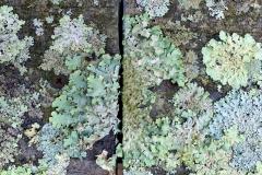 Lichen on Wood 1