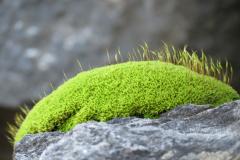 Moon Moss on Rock