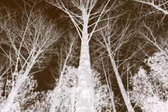 Trees Reach to the Sky - Negative