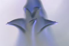 White Lily Flower Blooming 1 - Negative