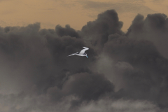 Seagull Soars - Negative