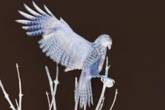 Hawk Spreads its Wings - Negative