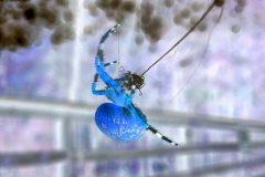 Marbled Orb Weaver Spider Gathers its Thread - Negative