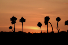 Sunset with Thistles 1