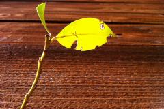 Yellow Leaf Through Wood Fence
