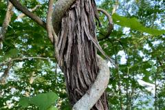 Vine Chokes and Climbs Trees