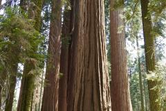 Woman Under Sequoia Trees
