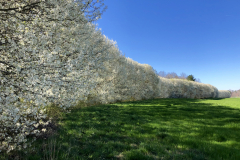 Row of White Blossoms