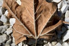 Brown Leaf on White Stones