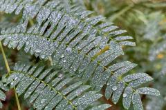 Raindrops on Fern Leaves