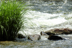 Grasses Go With the River Flow