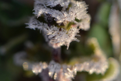 Frost Covered Clover - Vertical