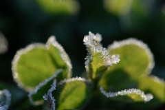 Leaves of Frost 1