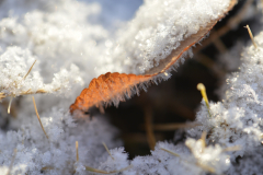 Frost Grows under Leaf