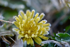 Frosted Dandelion 2