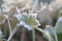 Leaf of Frost