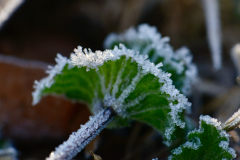 Frosted Clover