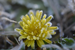 Frosted Dandelion 1