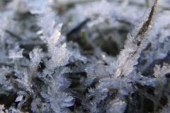 Heavy Frost on Grasses