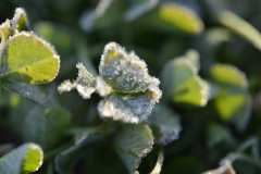 Leaves of Frost 11